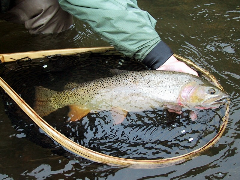 Yellowstone Cutthroat Trout - South Fork of the Snake