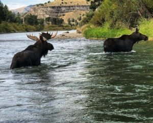 South Fork of the Snake River Moose